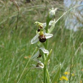 Bee Orchid02