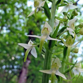 Greater-Butterfly-Orchid00
