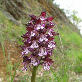 Lady Orchid (5)