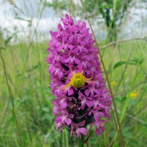 Pyramid orchid with spider