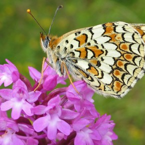 Spotted-fritillary-butterfl