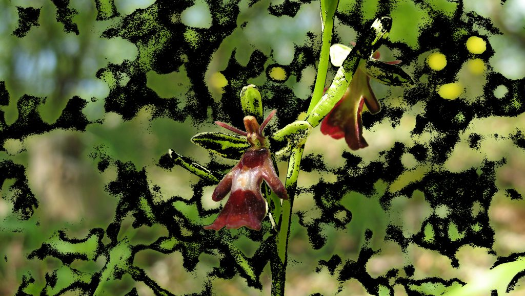 Fly orchid found on our land