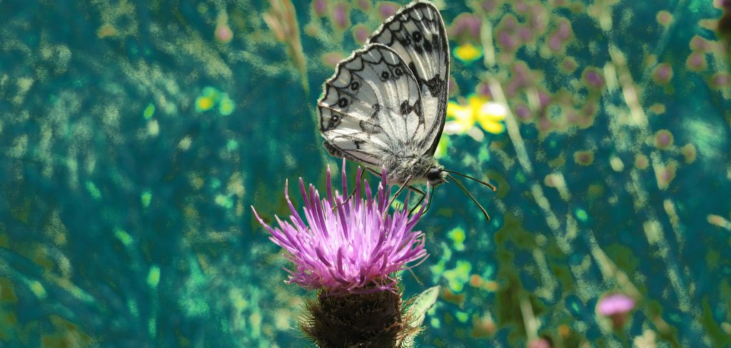Butterfly on a thistle in our garden