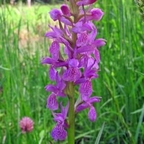 Broad-leaved Marsh Orchid 01