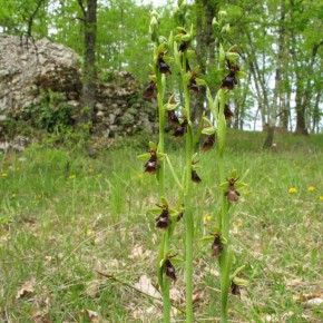 Fly Orchid08