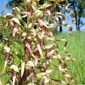 Lizard-Orchid02