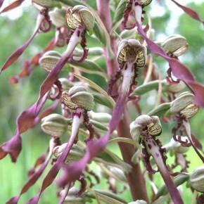 Lizard Orchid08